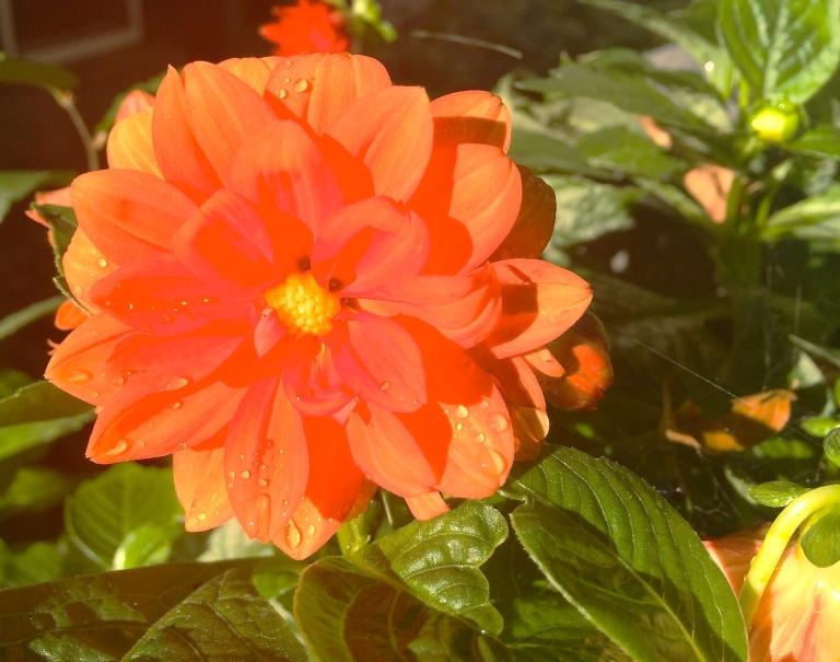 dahlia in bright saturday morning sunshine
