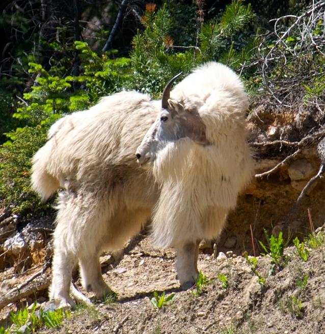 mountain goat near Field, BC 2