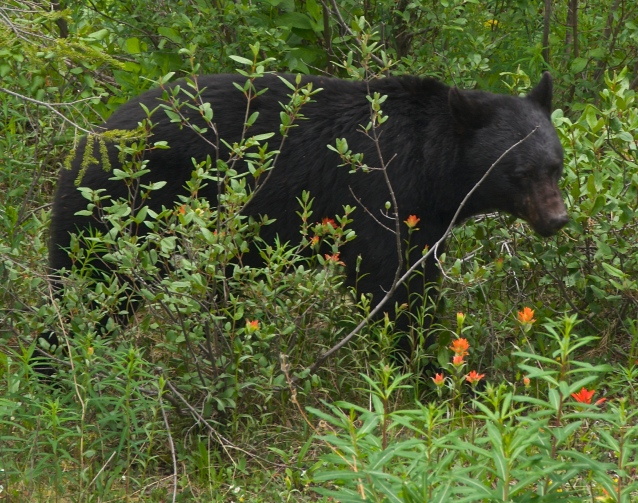 side of the road black bear