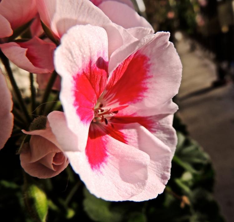geraniums in October 2