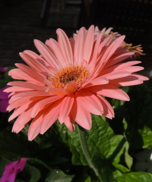 gerbera in July 1