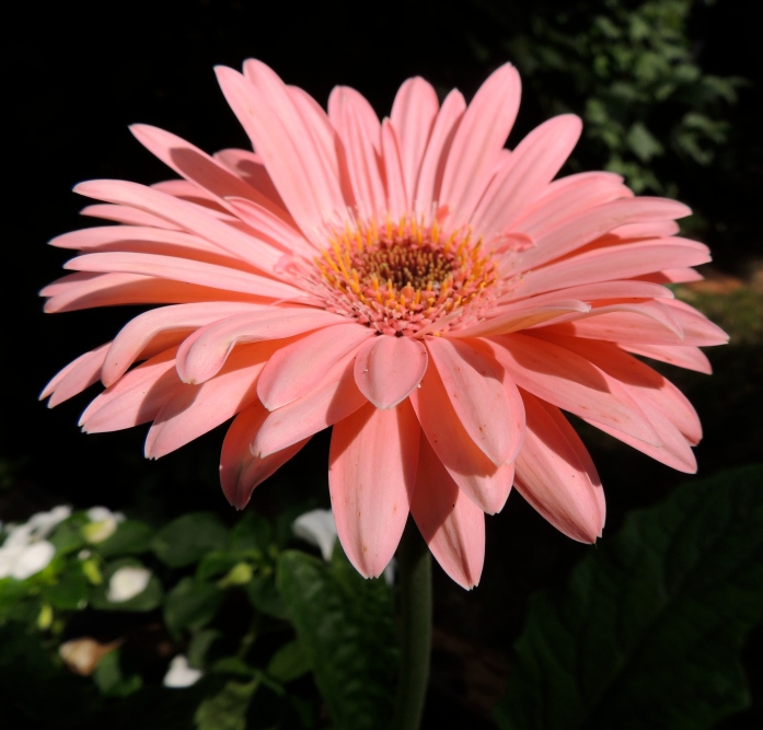 gerbera in July 2
