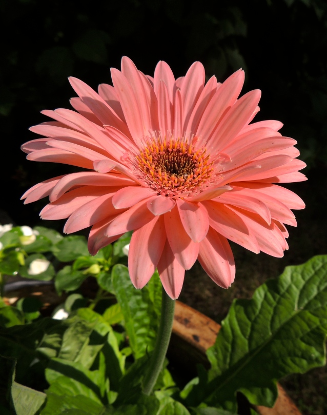 gerbera in July