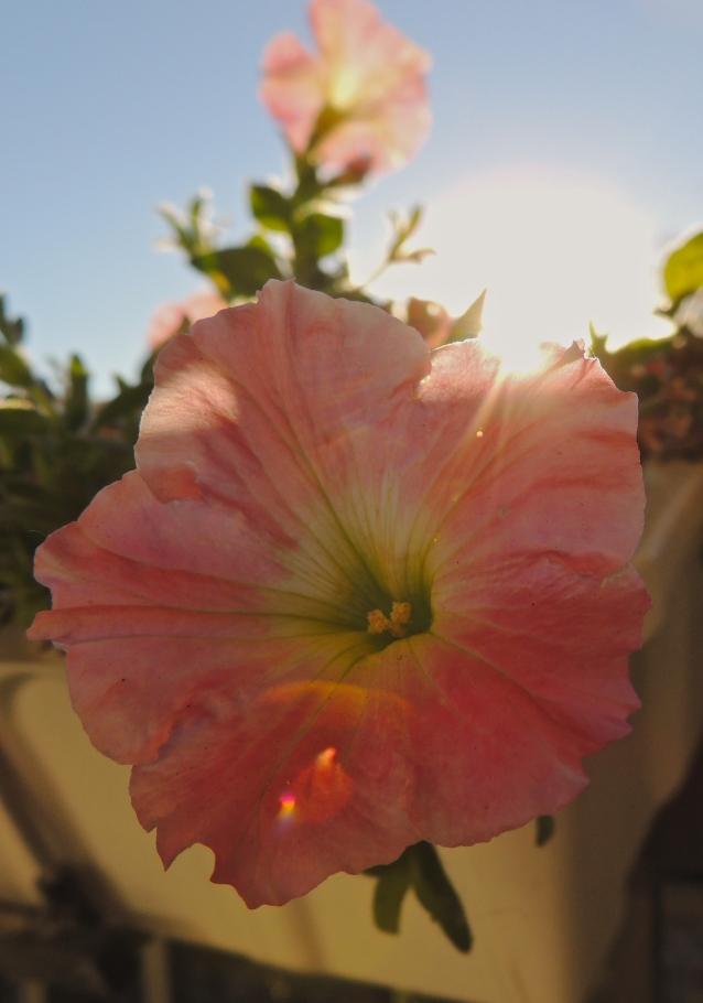 petunias in October