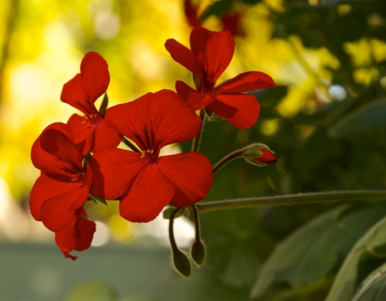 red geraniums in October