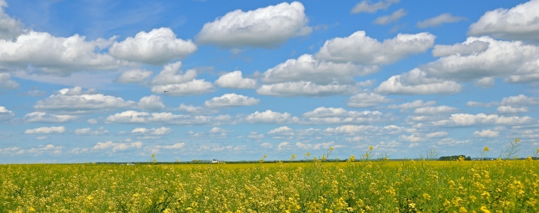 Canola field near Regina 2