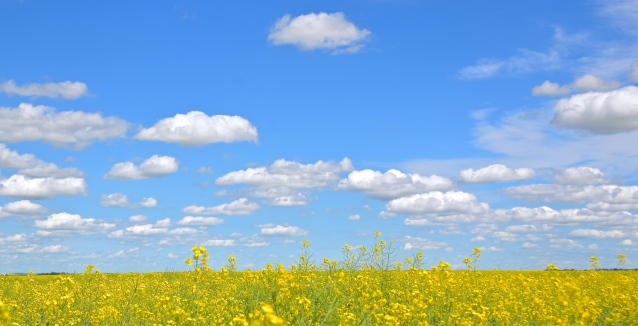 canola field near regina 3