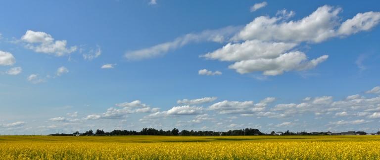 Canola field near Regina