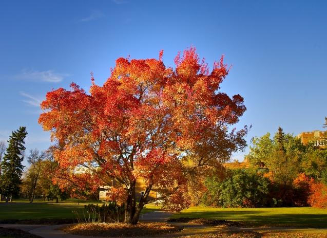 Favourite maple tree in Wascana Park 2014