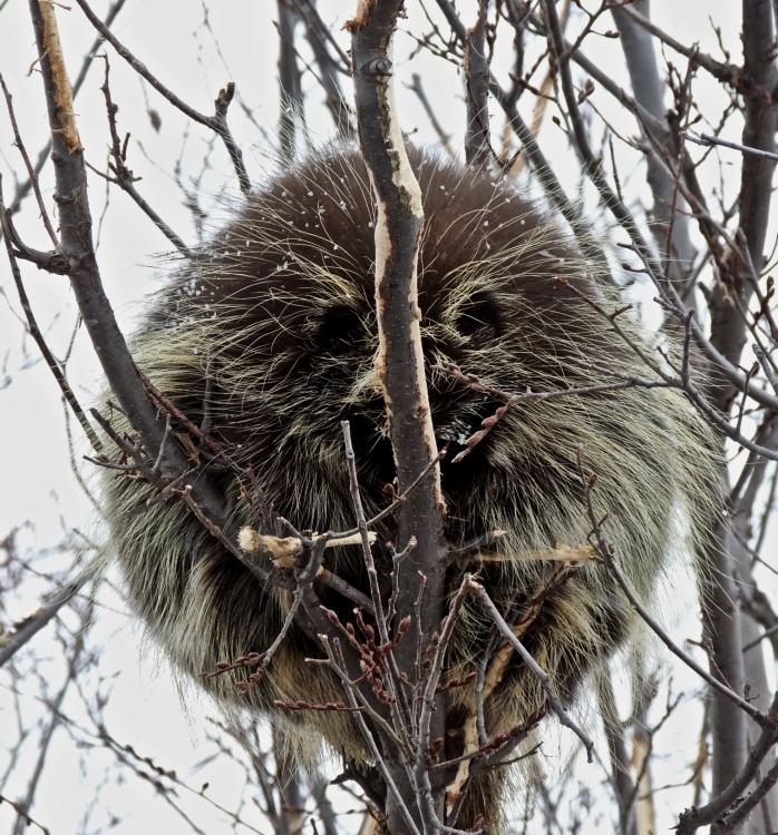 sleeping porcupine 1