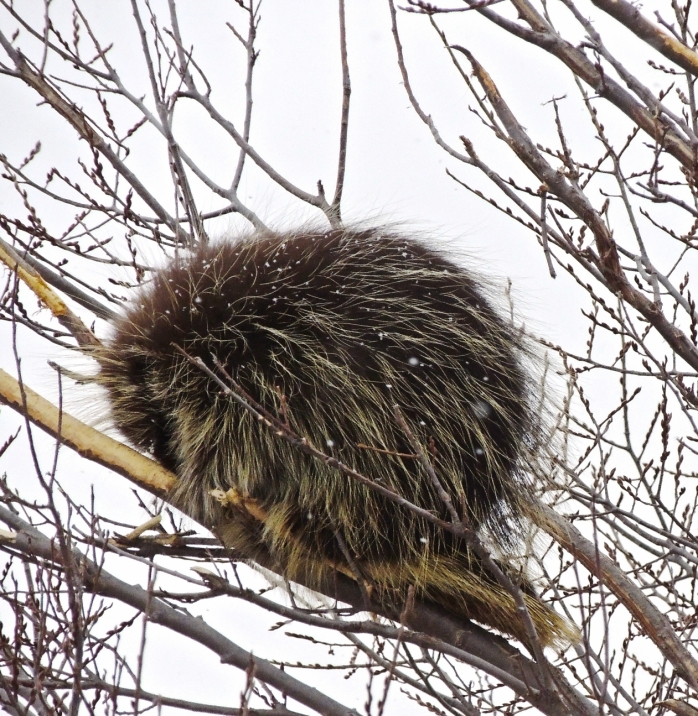 sleeping porcupine