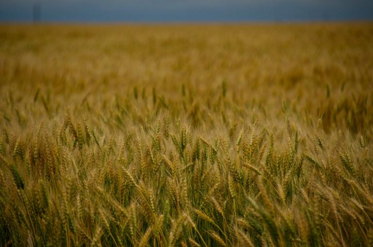wheat field near Regina