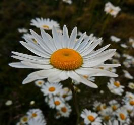 featured daisy