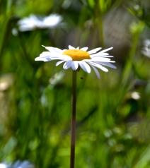 one daisy