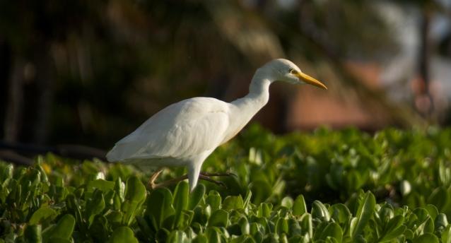 Egret, Kaanapali Beach 1