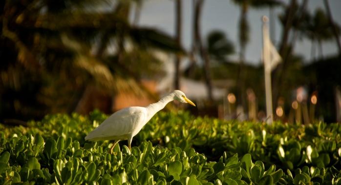 Egret, Kaanapali Beach 2
