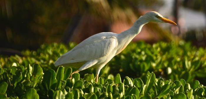 Egret, Kaanapali Beach 4