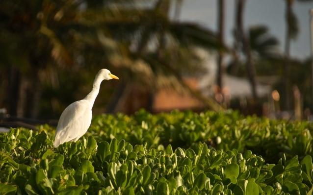Egret, Kaanapali Beach