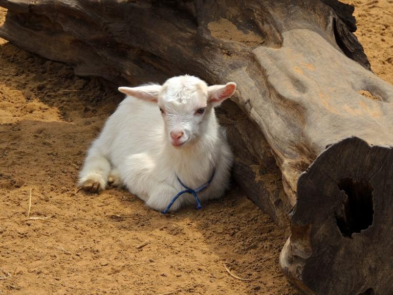 Surfing Goat 1