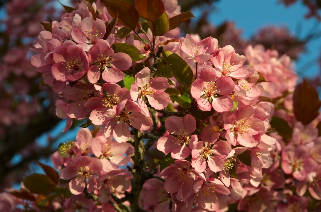 Cherry Blossoms May 2015 1