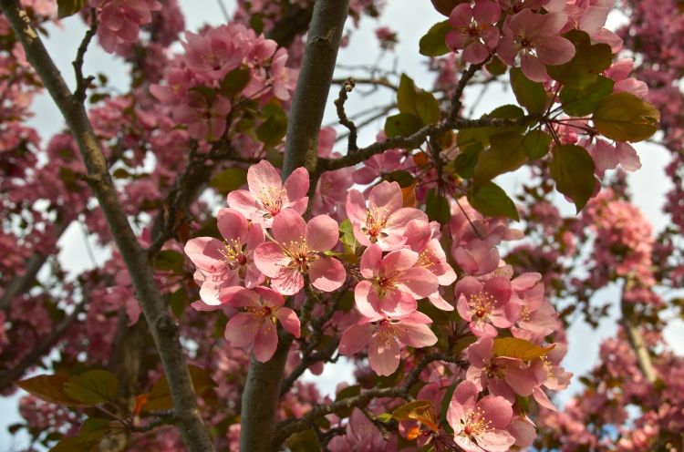 Cherry Blossoms May 2015 2