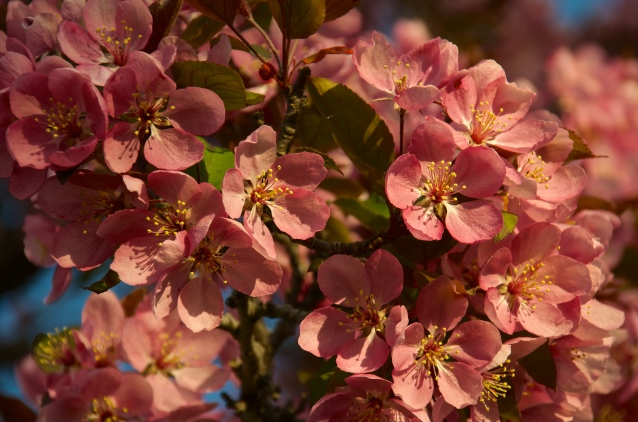 Cherry Blossoms May 2015 3