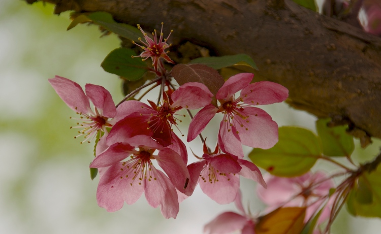 Cherry Blossoms May 2015