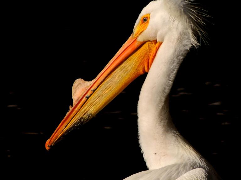 pelican profile 2