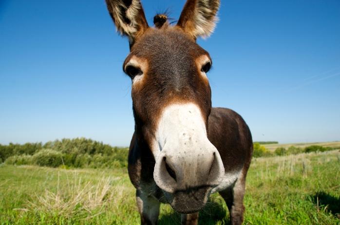 curious donkey