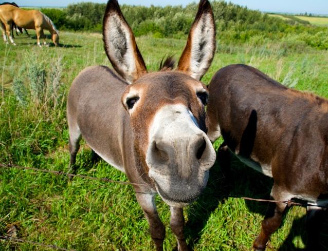 donkey posing