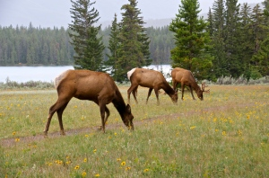 Elk at Lake Annette 2