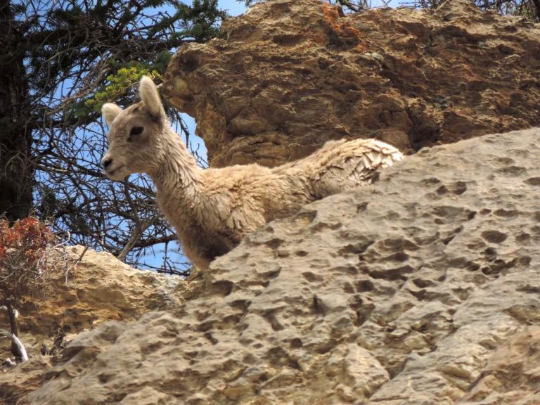 Mom! mountain goat kid jasper
