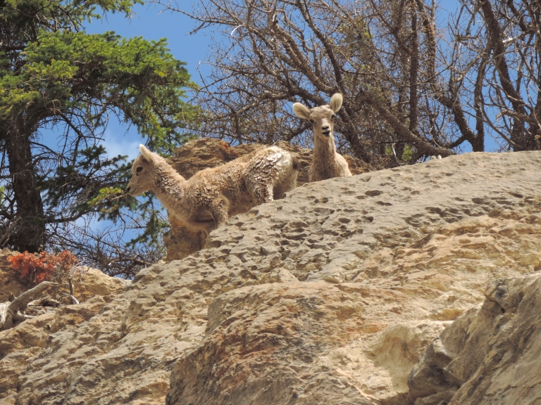 Mountain goat kids Jasper