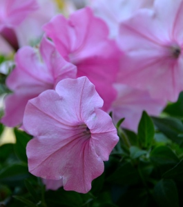 more pretty pink petunias