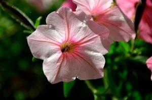 pretty pink petunia 1