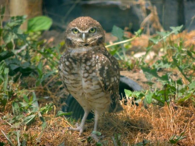 serious Burrowing Owl