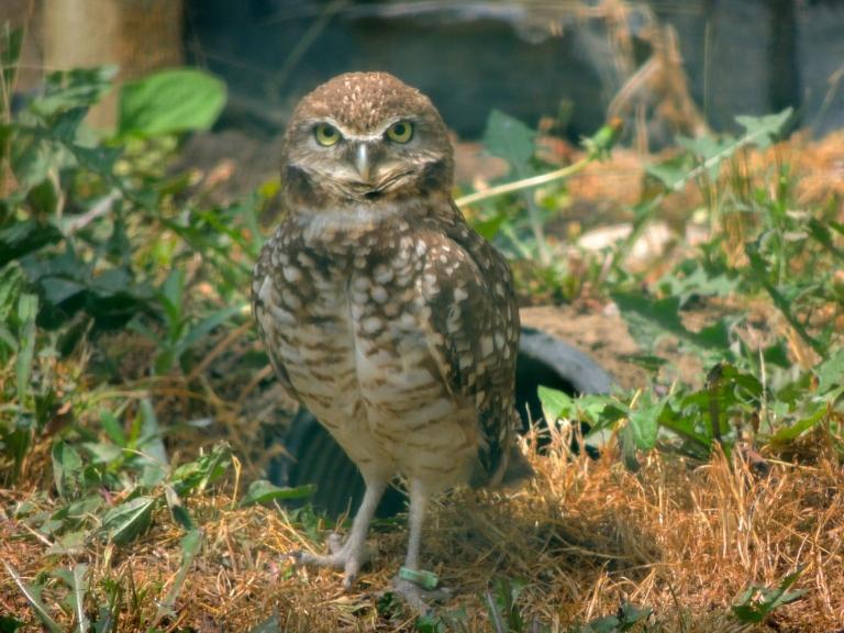serious Burrowing Owl