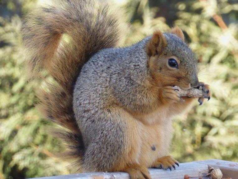 Sunday Morning Squirrel 2
