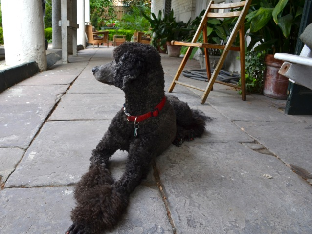 Maggie the poodle
