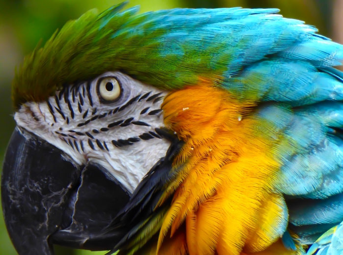 macaw close-up