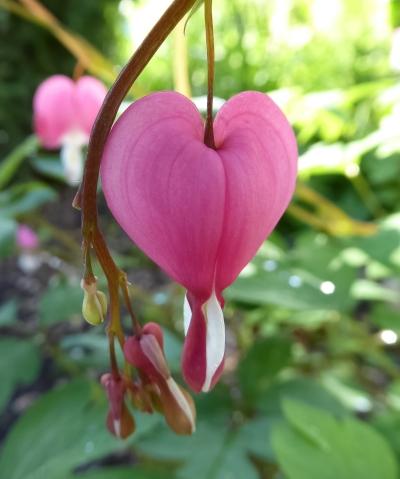 a single bleeding heart-2