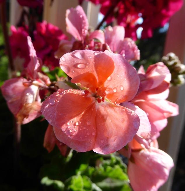 Geranium after the rain