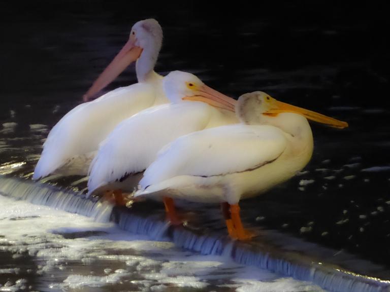 pelicanx3-2
