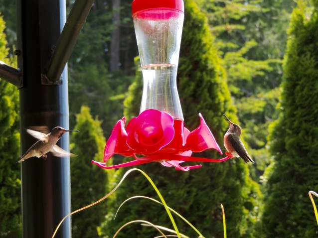 hummingbirds near Sooke, BC
