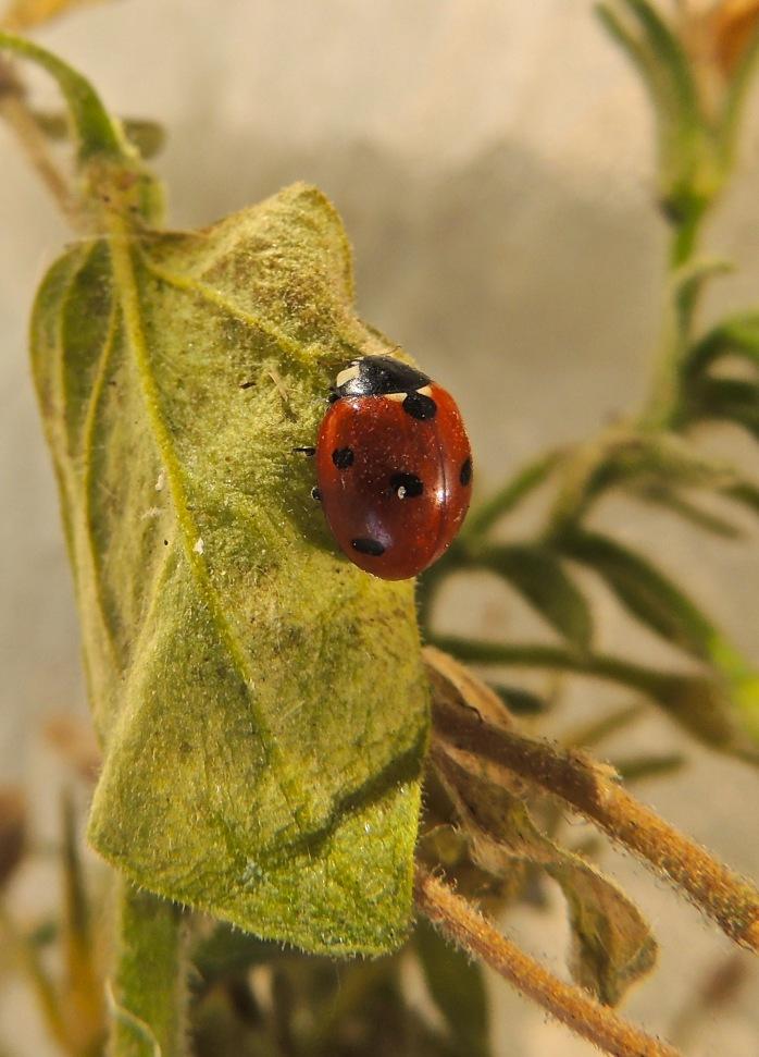 ladybug, ladybug on my balcony