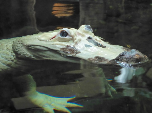 rare white alligator at the Audubon Aquarium