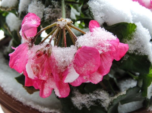 pink-petunia-in-snow