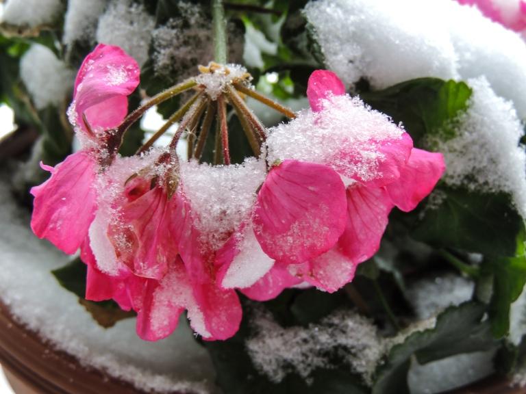 pink-petunia-in-snow
