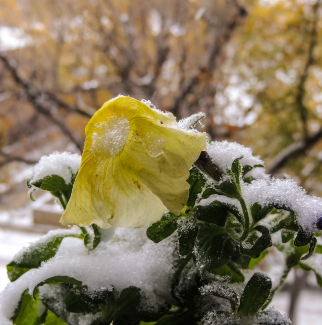 yellow-petunia-in-snow