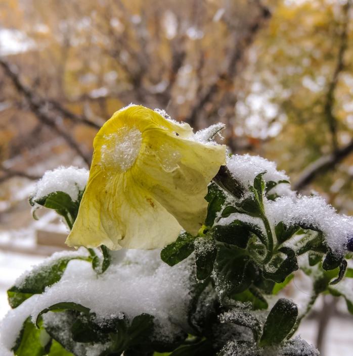 yellow-petunia-in-snow